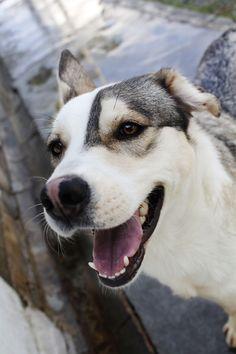 Llegará mi oportunidad / Protectora de animales y plantas Granada / Husky, un cruce de husky siberiano con un nombre muy original / perro en adopción