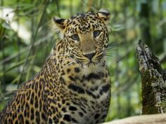 The Javan leopard (Panthera pardus melas) is a leopard subspecies confined to the Indonesian island of Java and classified as critically endangered by IUCN since 2008.