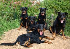Beauceron Pictures | ... und Verstand für die französische Schäferhundrasse 'Beauceron