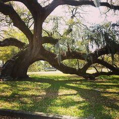 The 800 year old oak tree of Magnolia Cemetery, Charleston, South Carolina