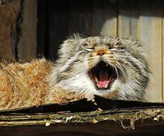 Pallas Cat <3