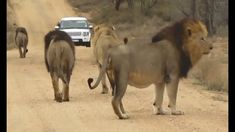 Amazing sighting to witness 5 Male Lions walking down a road. This video was filmed at Renoster(Rhino) Koppies in South Africa's Kruger National Park. Kruger National Park Safari, National Parks, Lion Facts, Male Lion, High Five, Once In A Lifetime, African Safari, Family Camping, Lions