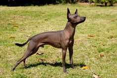 Xoloitzcuintli. Similar to the Peruvian Inca Orchid just with less hair, and the hardest dog breed name I have ever had to google.  Image via Pitbull Chat