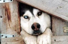 Sled dog. awwwwwwwwww!  look at that adorable face.