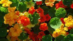 Jak správně pěstovat lichořeřišnici větší (Trapeoleum majus). Recepty, jak využít jedlé květy lichořeřišnice. Odrůdy lichořeřišnice. Jak a proč léčí Pesto, Vegetables, Plants, Horoscope, Veggie Food, Flora, Vegetable Recipes, Plant, Veggies