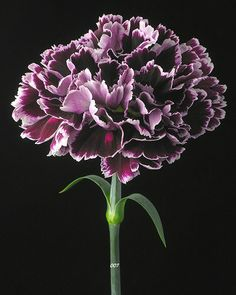 Designs For Garden Flower Beds Carnations In January :: Birthflower Of The Month Amazing Flowers, My Flower, Beautiful Flowers, Purple Carnations, Purple Flowers, Arrangements Ikebana, Flower Arrangements, Bloom, Birth Flowers