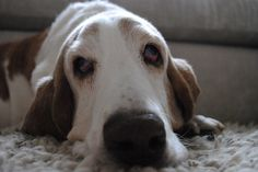 18 Things All Basset Hound Owners Must Never Forget
