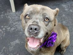 TO BE DESTROYED - 05/17/14 Manhattan Center   LIANNIE - A0999103 *** SAFER: EXPERIENCED HOME ***  FEMALE, GRAY / BROWN, CANE CORSO MIX, 4 yrs STRAY - EVALUATE, NO HOLD Reason STRAY  Intake condition NONE Intake Date 05/08/2014, From NY 11203, DueOut Date 05/11/2014, Medical Behavior Evaluation GREEN https://www.facebook.com/photo.php?fbid=801786286500919&set=a.617938651552351.1073741868.152876678058553&type=3&theater