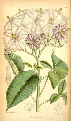 Solanum - 1887 -Curtis's botanical magazine. - Biodiversity Heritage Library