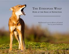 I am interested in this book! Check this out!: 'The Ethiopian Wolf': An adventure tale with a heroic goal #Wolf #News #Book