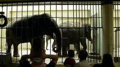 MOVE BUFFALO ELEPHANTS TO BIGGER HABITAT WITH WARMER TEMPERATURES IMMEDIATELY !