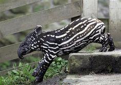 Baby Tapir -- cute animal...or CUTEST animal??