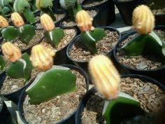 Kaktus Mini Yellow