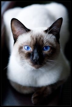 "lalulutres:   i had a siamese that looks just like this, xcept ""voodoo"" my ktteh, had cross eys. some genetic trait in simase cats. miss voodoo so mucj :("