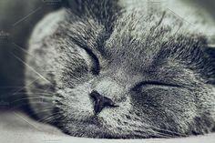 Sleeping Lovely British Grey Cat    . Animal Photos