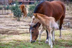 Near roam through Alto. Photo by Mark Stambaugh Horse Love, Wild Horses, Rocky Mountains, New Mexico, Wildlife, Donkeys, Lincoln, Animals, Animales