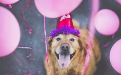P Chuppy: These Adorable Photos Will Always Remind Us Of Chuppy The Golden Retriever - Dog stuff - Hunde Fotos Golden Retriever, Golden Retrievers, Dog Photos, Dog Pictures, Funny Dogs, Cute Dogs, Happy Birthday Dog, Funny Birthday, Birthday Images