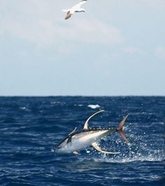 The oil rigs in the Gulf of Mexico are great spots to troll for yellowfin tuna. Tuna Fishing, Kayak Fishing, Fishing Tips, Salt Water Fish, Salt And Water, Yellowfin Tuna, Fishing Adventure, Underwater Creatures, Deep Sea Fishing