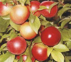 Cherry Plum (Prunus cerasifera) Red Karlovska Cherry Plum