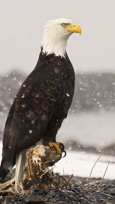 Majestic Bald Eagle - Alaska                                                                                                                                                                                 More