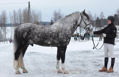 The heavy, draft-type of Desmere (Dappled grey finnish horse stallion, EV Tiikeri)
