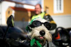 A participant's dog in the 'Portugal de Les-a-Les' is dressed-up near Vila Nova de Gaia, Portugal. The biggest European motorbike marathon crossed the Portuguese coast beginning at Lagoa in the south and ended in the north at Vila Nova de Gaia.