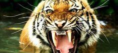 roaring tigers - Google Search