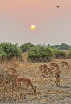 -Impala at Sunrise, Chobe National Park, Botswana. African Animals, African Safari, Chobe National Park, Marine Conservation, Wild Creatures, Wild Dogs, Mundo Animal, Africa Travel, Animal Kingdom