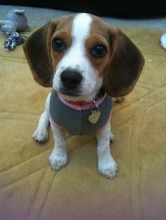 Freckles- the beagle beauty
