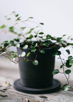 Jono Smart - Jono Smart Black ceramics and Green plants, dream team. Green Plants, Potted Plants, Indoor Plants, Ivy Plants, Plant Pots, Cactus Plante, Pot Plante, Multiplier Des Plantes Grasses, Decoration Plante