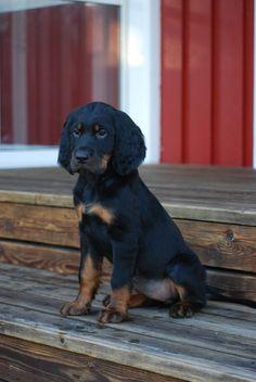 Ila my Gordon setter as a puppy