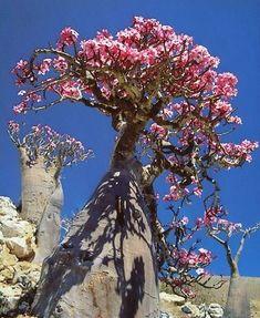 Adenium Obesum {Desert Rose}