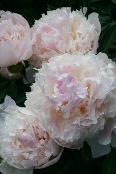 Ruffled Cream and Pink Peony