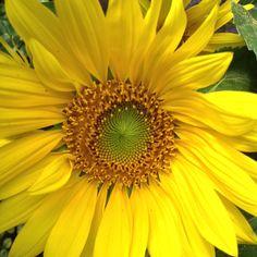 Solsikke, solsikke kig den anden vej Fruit, Outdoor, Plant, Sunflowers, Outdoors, Outdoor Games, The Great Outdoors