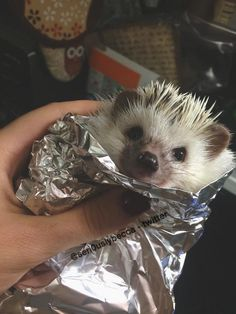 OK @sammiejo84036 I think your first purchase when you move to Vegas is a pet hedgehog. Just look how cute!!!!!!