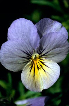 Sorbet Blueberry Cream pansies - container - rich soil