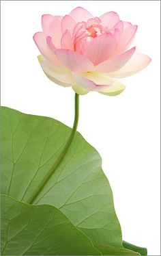 Egyptian - Lotus Flower, used often because it was sacred and the flower of the goddess Isis.