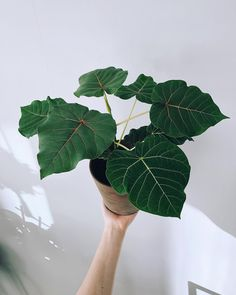 Ficus petiolaris ~ lava fig