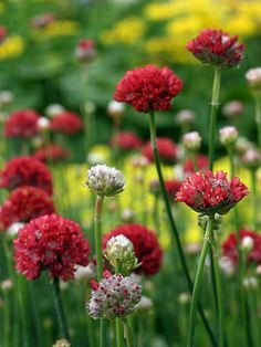 I almost bought armeria 'Ballerina Red' this year, but restrained myself. Got to make more room first - and have more money.