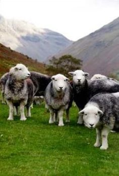 Herdwick Sheep. They're so cute! Like a cross between a cow and a sheep!