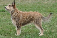 The Berger Picard (pronounced 'Bare-zhay Pee-carr') also known as the Picardy Shepherd, is considered to be France's oldest sheepdog. In fact, its scraggly, mutt-like appearance hides a rich and storied history that dates back to the 9th century.