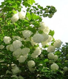 Snowball Bush (Viburnum opulus 'Roseum') I grew up with these in our yard!! Good memories