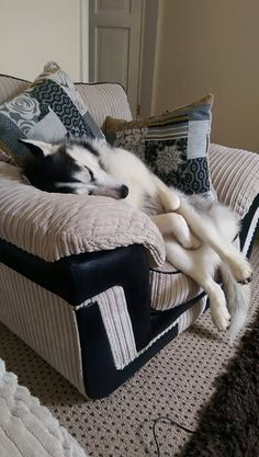 Another unique Siberian Husky sleeping position! ♡