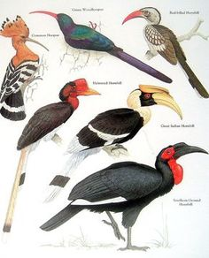 Aves abubilla común paují Hornbill sur de por mysunshinevintage
