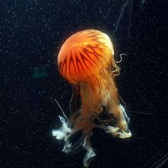Animales marinos: las medusas de mar