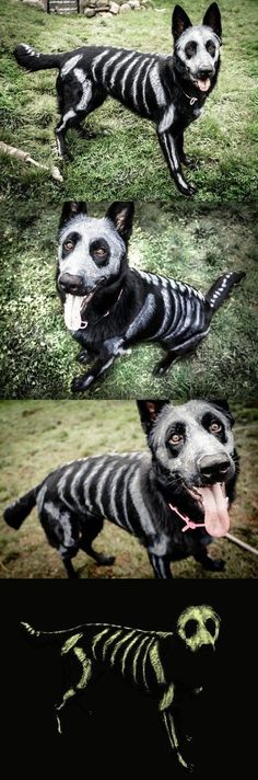 This Skele-pooch is Going to be Glowing Come Halloween! Skele-pooch is going to be glowing come Halloween! ~ black dog with pet-safe white color sketched on for bones Halloween Meme, Costume Halloween, Chien Halloween, Casa Halloween, Halloween 2016, Holidays Halloween, Halloween Crafts, Happy Halloween, Halloween Decorations