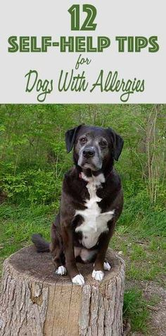 Try these 12 ideas you can do at home to help your dog with allergies. #dogs #allergies #doghealth