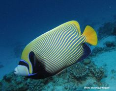 Diving El Gouna - Angelfish