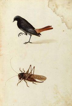 Ulisse Aldrovandi, Specimen of nature, tavole 004, Unico. Watercolor. University of Bologna