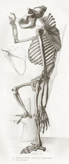 The skeleton of a gorilla standing by a tree with an inset of a shoulder blade bone. Published in Paris.